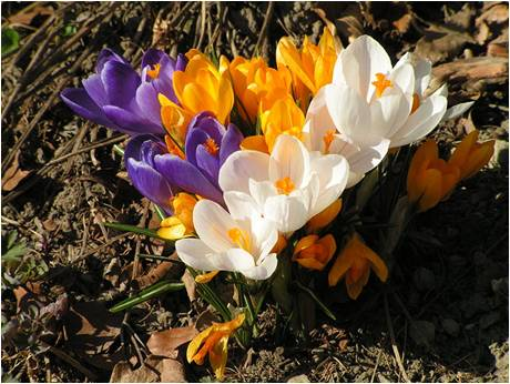 crocus in spring 2011
